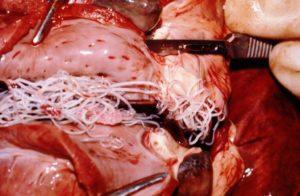 Canine (Dog) Heartworm Disease | Bell Shoals Animal Hospital