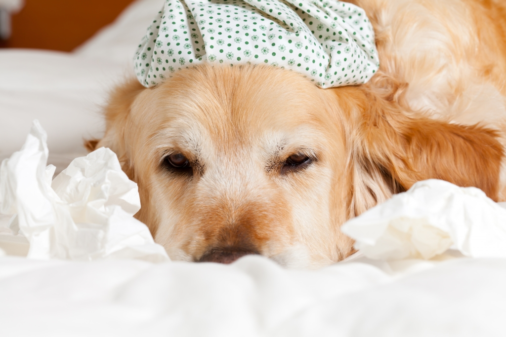 Warning - Canine Influenza (Dog Flu) is Back